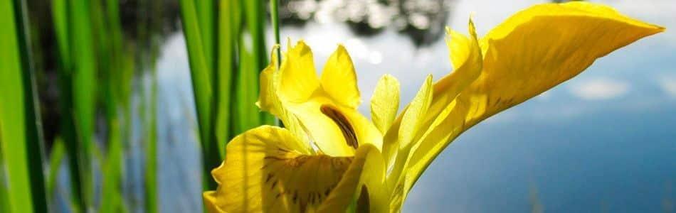 Van der Velde Waterplanten Helofytenfilter planten