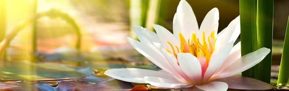 Van der Velde waterplanten assortiment lelies