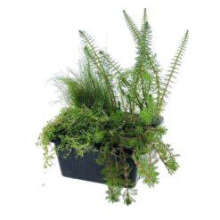 Winterharde zuurstofplantenmix bestaande uit 4 verschillende planten. Helder vijverwater voor alle mini- en kleine vijvers!