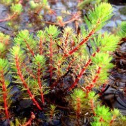 Aarvederkruid is een winterharde zuurstofplant en kan ongeveer 10 cm hoog worden. Te planten op een diepte van maximaal -40 cm. Geschikt als bodem of rand bedekker. Wordt geleverd inclusief vijvermandje (19x19x10 cm)
