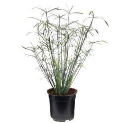 Cyperus Papyrus Alternifolius is winterhard en kan ongeveer 150 hoog worden. Te planten op een diepte van maximaal -40 cm. Zowel geschikt voor binnen als buiten.