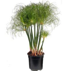 Cyperus Papyrus Nofretete is winterhard en kan ongeveer 100 hoog worden. Te planten op een diepte van maximaal -40 cm. Zowel geschikt voor binnen als buiten