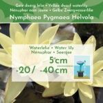 Dwergwaterlelie-Geel-3