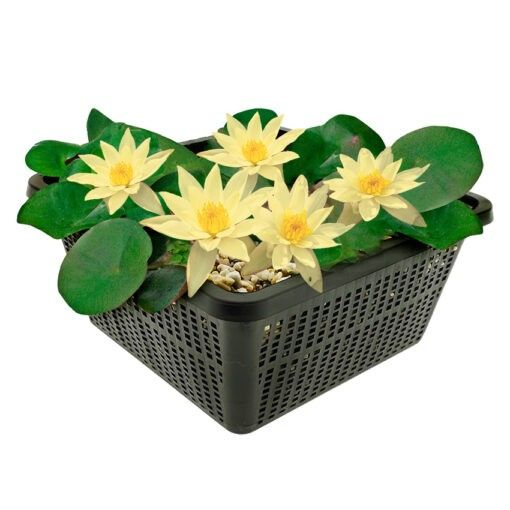 Winterharde waterlelie met kleine bloemen en bladeren. Te planten op een diepte van maximaal -40 cm. Geleverd inclusief vijvermandje (19x19x10 cm)