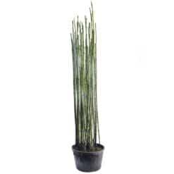Japanse Holpijp is winterhard en kan ongeveer 120 cm hoog worden. Te planten op een diepte van maximaal -40 cm.