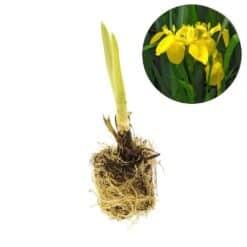 Winterharde planten met een verbluffend resultaat. Haalt nitaat en nitriet uit het water. Te planten op een diepte van maximaal -20 cm. Plant wordt maximaal 80 cm hoog.