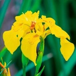 speciale vijverplanten klei