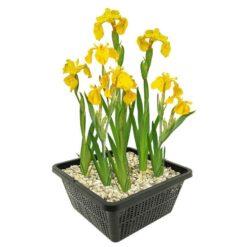 Gele Lis is winterhard en kan ongeveer 80 cm hoog worden. Te planten op een diepte van maximaal -20 cm. Geleverd inclusief vijvermandje (19x19x10 cm)