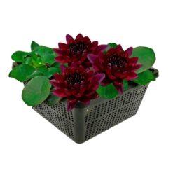 Bijzondere winterharde waterlelie met grote bloemen en bladeren. Te planten op een diepte van maximaal -100 cm. Geleverd inclusief vijvermandje (19x19x10 cm)