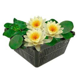 Winterharde waterlelie met grote bloemen en bladeren. Te planten op een diepte van maximaal -100 cm. Geleverd inclusief vijvermandje (19x19x10 cm)