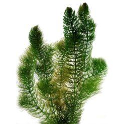 Hoornblad is een winterharde zuurstofplant en kan ongeveer 1 meter lang worden. Deze plant kan los in de vijver of geplant worden op een diepte van maximaal -120 cm.