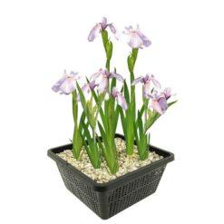 Japanse Wateriris is winterhard en kan ongeveer 80 cm hoog worden. Te planten op een diepte van maximaal -20 cm. Geleverd inclusief vijvermandje (19x19x10 cm)