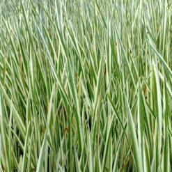 Kalmoes is winterhard en kan ongeveer 80 cm hoog worden. Te planten op een diepte van maximaal -20 cm.