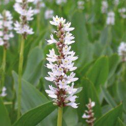 Moerashyacint is winterhard en kan ongeveer 80 cm hoog worden. Te planten op een diepte van maximaal -40 cm.