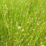 Naaldgras (Eleocharis Acicularis) – 4 stuks | Zuurstofplanten | VanderVeldeWaterplanten.nl