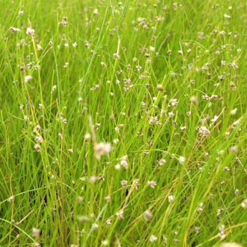 Naaldgras is een winterharde zuurstofplant en kan ongeveer 20 cm hoog worden. Te planten op een diepte van maximaal -40 cm. Geschikt als bodem of rand bedekker.