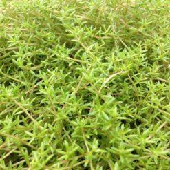 Naaldkruid is een winterharde zuurstofplant. Te planten op een diepte van maximaal -80 cm. Geschikt als bodem of rand bedekker.