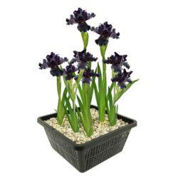 Paarse Wateriris is winterhard en kan ongeveer 80 cm hoog worden. Te planten op een diepte van maximaal -10 cm. Geleverd inclusief vijvermandje (19x19x10 cm)