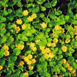 Penningkruid is winterhard en kan ongeveer 10 cm hoog worden. Te planten op een diepte van maximaal -20 cm. Geschikt als bodem of rand bedekker.