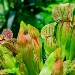 Venosa kan ongeveer 20 cm hoog worden. Te planten op een diepte van maximaal -10 cm. Deze vleesetende plant is winterhard.