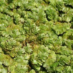 Vlotvarentje is een drijfplant die geschikt is voor vijver