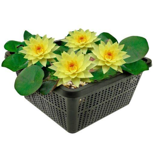 Winterharde waterlelie met middlegrote bloemen en bladeren. Te planten op een diepte van maximaal -100 cm. Geleverd inclusief vijvermandje (19x19x10 cm)
