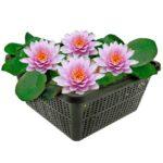 Roze Waterlelie| Waterlelies | VanderVeldeWaterplanten.nl