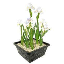 Witte Japanse Lis is winterhard en kan ongeveer 80cm hoog worden. Te planten op een diepte van maximaal -10 cm. Geleverd inclusief vijvermandje (19x19x10 cm)